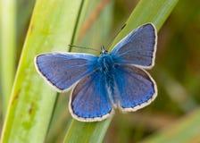 蓝色蝴蝶公用 图库摄影