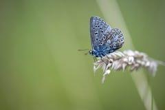 蓝色蝴蝶公用icarus polyommatus 免版税库存照片