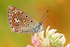 蓝色蝴蝶公用icarus polyommatus 库存图片