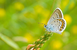蓝色蝴蝶公用icarus polyommatus 库存照片