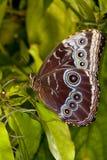 蓝色蝴蝶变体 免版税库存图片