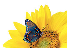 蓝色蝴蝶向日葵 免版税库存照片