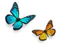 蓝色蝴蝶国君桔子 库存照片