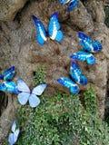 蓝色蝴蝶本质上 库存照片