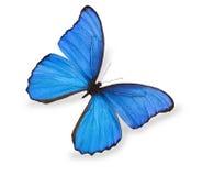 蓝色蝴蝶查出的白色 免版税库存照片