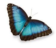 蓝色蝴蝶查出的白色 库存照片