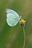 蓝色蝴蝶花 库存照片