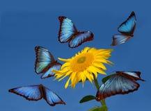 蓝色蝴蝶跳舞 图库摄影