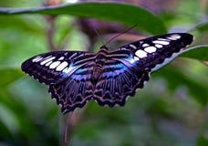 蓝色蝴蝶飞剪机 免版税库存照片