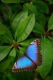 蓝色蝴蝶, Morpho peleides,坐绿色叶子 在森林深绿植被的大蝴蝶 热带自然在Salvado 库存照片