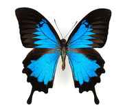 蓝色蝴蝶 免版税库存图片