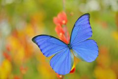 蓝色蝴蝶Morpho didius,巨型蓝色morpho,坐橙红开花,秘鲁 在回归线的美丽的蝴蝶为 库存图片