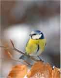 蓝色表面山雀 免版税库存图片