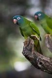 蓝色被加冠的长尾小鹦鹉 免版税库存照片