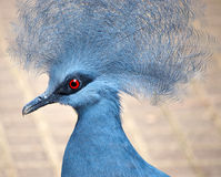 蓝色被加冠的鸽子 免版税图库摄影