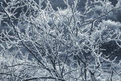 蓝色被定调子的冬天刺灌木 免版税库存照片