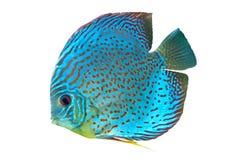 蓝色被察觉的鱼铁饼 免版税库存照片