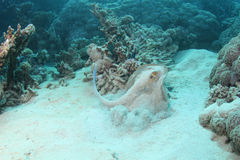 蓝色被察觉的黄貂鱼离开 图库摄影