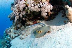 蓝色被察觉的黄貂鱼 库存图片