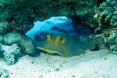 蓝色被察觉的黄貂鱼 库存照片