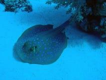 蓝色被察觉的黄貂鱼 免版税库存图片