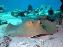 蓝色被察觉的黄貂鱼 免版税库存照片