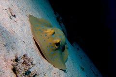 蓝色被察觉的黄貂鱼画象  免版税库存照片