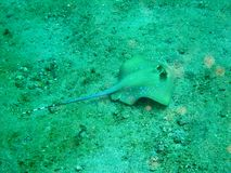 蓝色被察觉的黄貂鱼 图库摄影