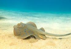 蓝色被察觉的黄貂鱼 免版税图库摄影