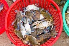 蓝色被捉住的螃蟹新近地越南 免版税库存照片