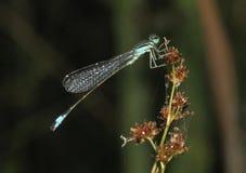 蓝色被盯梢的蜻蜓 免版税库存照片