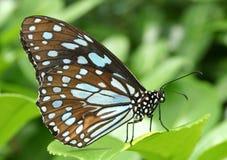 蓝色褐色蝴蝶 免版税库存照片