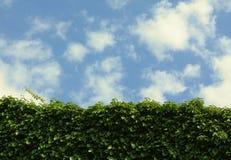 蓝色覆盖常春藤天空墙壁 免版税图库摄影