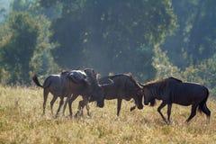 蓝色角马在克鲁格国家公园,南非 库存照片