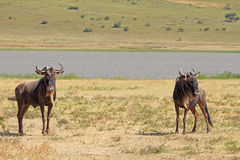 蓝色角马夫妇在Ngorongoro 免版税库存照片