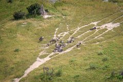 蓝色角马牧群的鸟瞰图  图库摄影