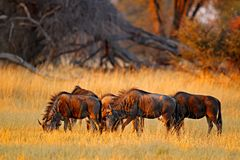 蓝色角马,角马属taurinus,在草甸,大动物在自然栖所,博茨瓦纳,非洲 牛羚牧群,平衡锂 免版税库存照片