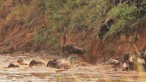 蓝色角马,角马属taurinus,穿过玛拉河在迁移时,马塞人玛拉公园的牧群在肯尼亚 股票视频