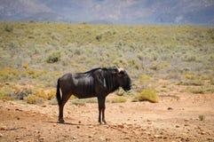 在非洲大草原的蓝色角马羚羊 图库摄影