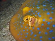 蓝色详细资料被察觉的黄貂鱼 免版税库存图片