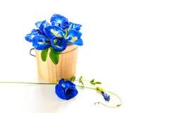 蓝色豌豆,蝴蝶豌豆 库存图片