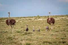 蓝色起重机家庭有两只驼鸟的 免版税库存图片