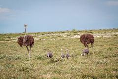 蓝色起重机家庭有两只驼鸟的 免版税图库摄影