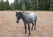 蓝色软羊皮的一岁在普莱尔山野马范围的母马野马在蒙大拿美国 免版税库存照片