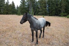 蓝色软羊皮的一岁在普莱尔山野马范围的母马野马在蒙大拿美国 免版税库存图片