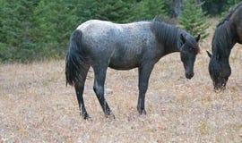 蓝色软羊皮的一岁在普莱尔山野马范围的母马野马在蒙大拿美国 库存图片