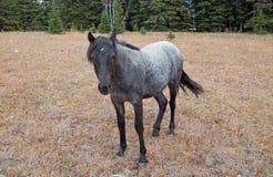 蓝色软羊皮的一岁在普莱尔山野马范围的母马野马在蒙大拿美国 库存照片