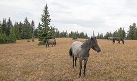 蓝色软羊皮的一岁在普莱尔山野马范围的母马野马在蒙大拿美国 免版税图库摄影
