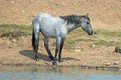 蓝色软羊皮的一岁在水坑的马驹野马在普莱尔山野马范围在蒙大拿美国 库存图片