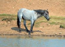 蓝色软羊皮的一岁在水坑的马驹野马在普莱尔山野马范围在蒙大拿美国 免版税库存图片